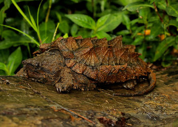 Alligator Snapping Turtle (Macrochelys temminckii) - бесплатный image #447423