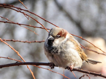 House sparrow // Passer domesticus - бесплатный image #447593