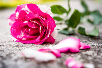 Pink and white rose on the floor - image gratuit #448753