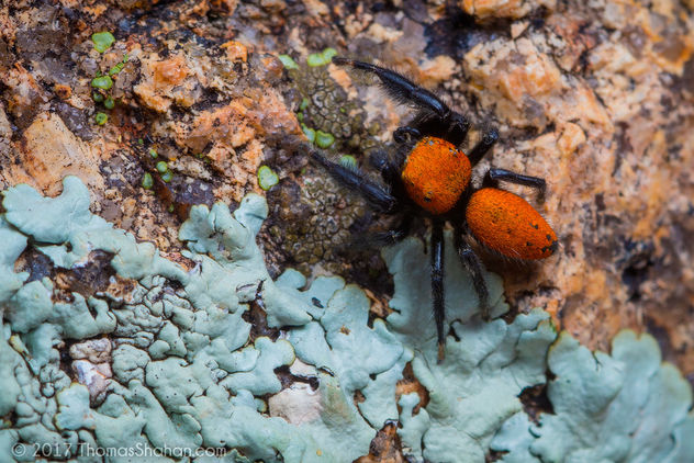 Phidippus sp. Wichita Mountains, Oklahoma - бесплатный image #449313