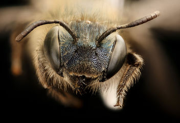Osmia near inurbana group 2, f, face, Porter co. Indiana_2017-08-03-16.20 - Free image #450043