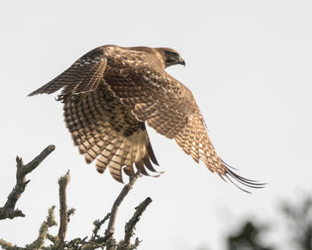 Red-tailed Hawk - image gratuit #450893