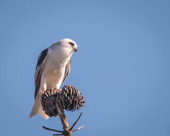 White-tailed Kite eating mouse - бесплатный image #451023
