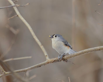 Tufted Titmouse - Free image #451273