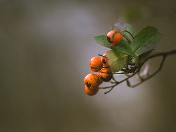 Winter berries - Free image #451293