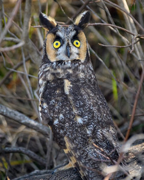 Frightened Long-eared Owl - image #451413 gratis
