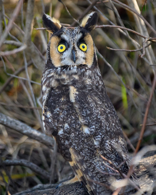 Frightened Long-eared Owl - Free image #451413