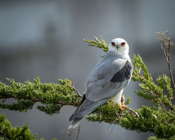White-tailed kite - image gratuit #451453