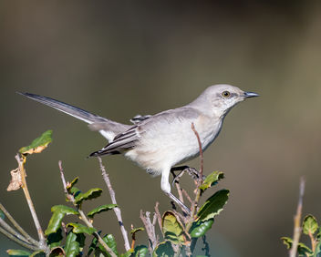 Northern Mockingbird - Free image #451703