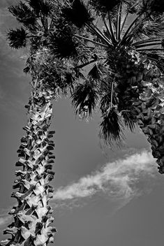 Palm trees - Free image #451723