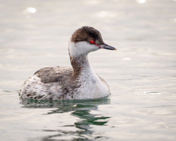 Horned Grebe (non-breeding plumage) - image gratuit #451993