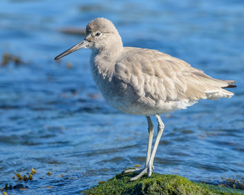 Willet (non-breeding plumage) - image gratuit #452023