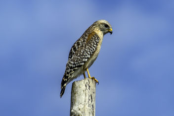 Red Shouldered Hawk - Kostenloses image #452063