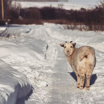 Cute goat on winter road - image #452273 gratis