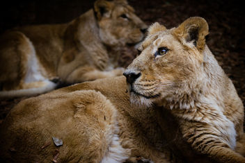 Indian Lions - image gratuit #452313