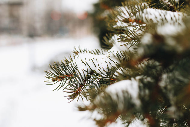 Close up of a pine tree covered with snow. Blurry background. - image gratuit #452343
