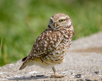 Burrowing Owl - Free image #452633