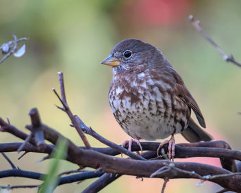 Fox Sparrow (Sooty) - Free image #453013