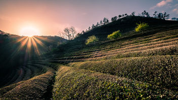 Boseong Green Tea Field - South Korea - Travel photography - Kostenloses image #453293