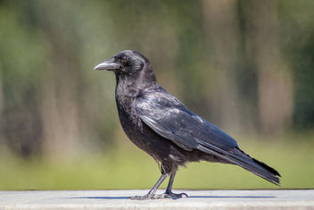 American Crow - Free image #453473