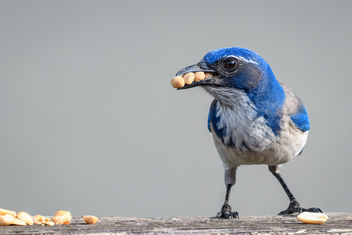 California Scrub-Jay loading up on Bark Butter - бесплатный image #453503