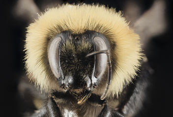 Bombus rufocinctus,F, face, Park County WY_2014-01-16-09.52 - Free image #453733