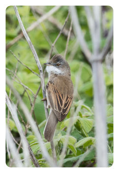 Whitethroat Sylvia communis - Kostenloses image #453743