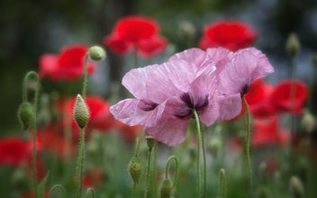 Poppies Galore - Free image #453783