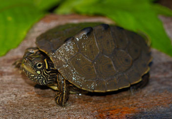 Ouachita Map Turtle (Graptemys ouachitensis) - бесплатный image #454193