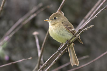 Pacific-slope Flycatcher - image gratuit #454293