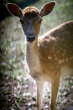 A female deer - image #454553 gratis