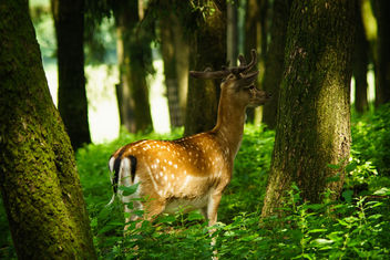A male deer - image #454663 gratis