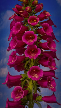 Beautiful foxglove - Free image #454713