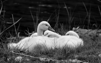 Baby swan - Kostenloses image #454803