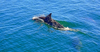 Dolphins on the way to Coronado Island - image gratuit #454833