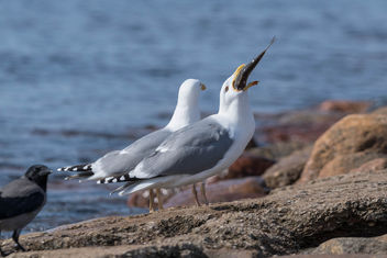 Herring gull dinner - image #454863 gratis