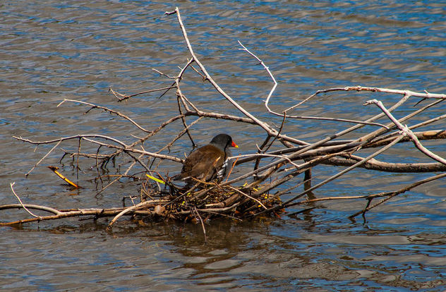 Moorhen nesting. #moorhen #nest #bird #nature #fauna #waterfowl - Free image #454923
