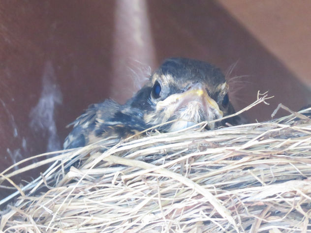 Baby robin - Free image #455083