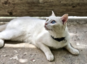 White (Clara) - A cat with a green and a blue eye - image gratuit #455223