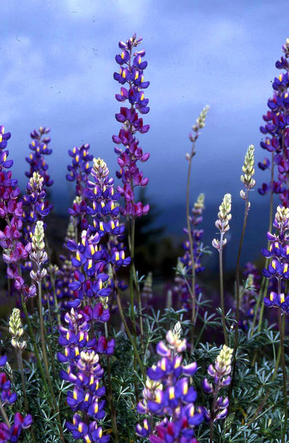 Lupine Heaven - Kostenloses image #455233