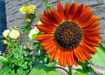 Earthwalker Sunflower - image gratuit #455323