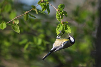 Swinging great tit - Free image #455463