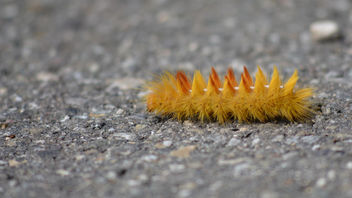 Caterpillar of Acronicta Aceris - бесплатный image #455473