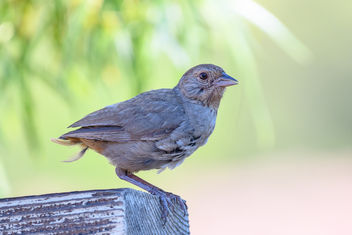 Tail-less California Towhee - image #455533 gratis