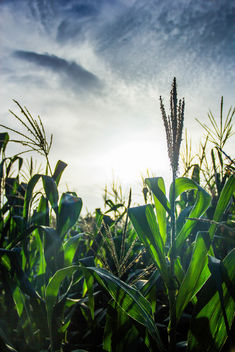 Corn Field at Sunset.jpg - image #455803 gratis