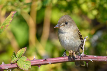 Willow Flycatcher - image #456053 gratis