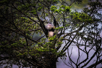 Black Snub-nosed Monkey - image #456113 gratis