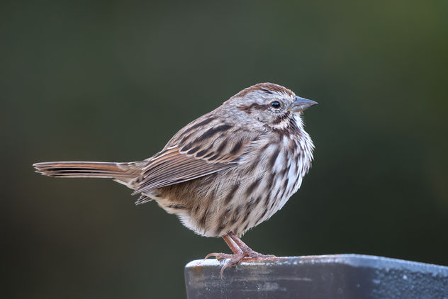 Song Sparrow - image #456123 gratis