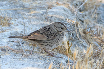 Lincoln's Sparrow - image #456193 gratis