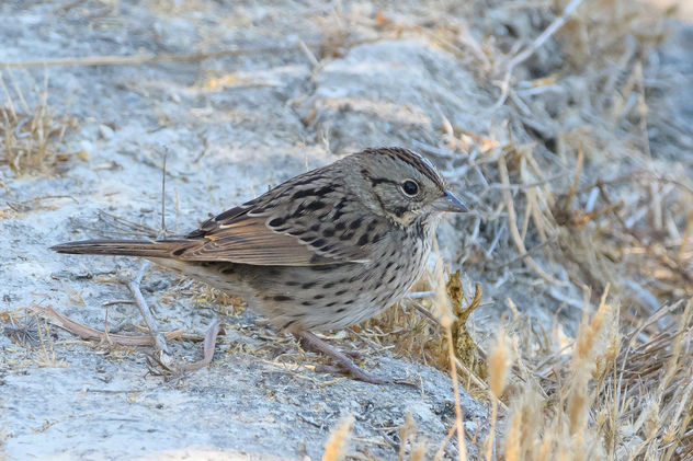 Lincoln's Sparrow - Kostenloses image #456193